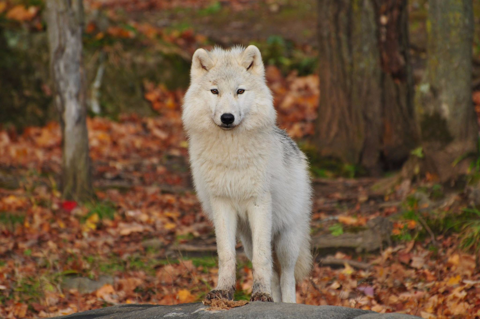 Whit wolf in the woods.