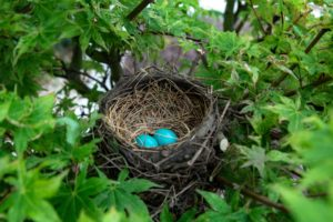 Bird's nest with two blue eggs.